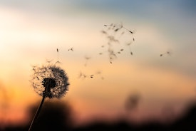 dandelion. Photo: D.Zawila Unsplash